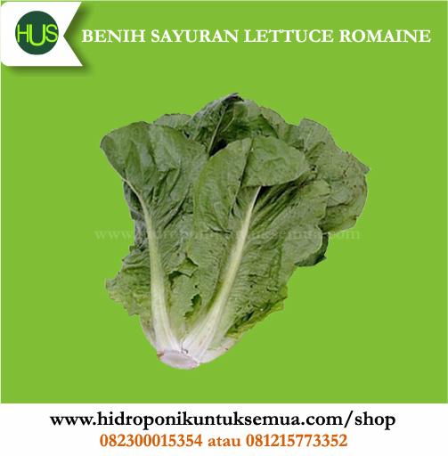 benih lettuce romaine