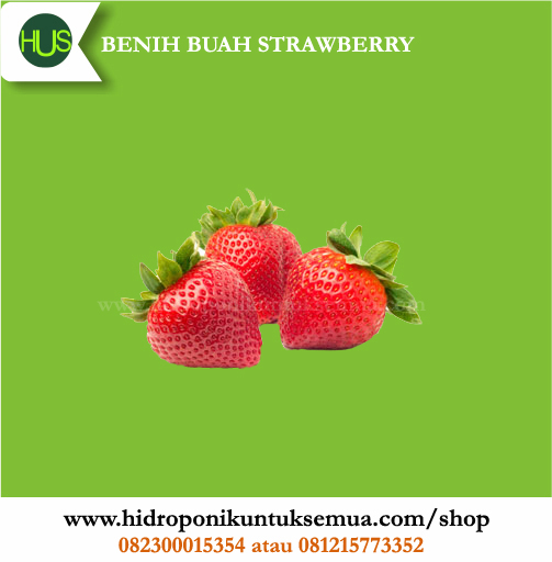 benih strawberry