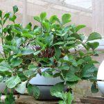 Cara Menghiasi Dapur Dengan Tanaman Di Pot Self Watering