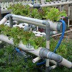 Cara Terlengkap Menanam Lettuce di NFT Hidroponik
