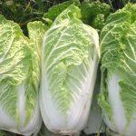 Cara Menanam Sayuran Sawi Putih Dengan Sistem NFT