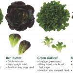 Alasan memilih selada untuk ditanam secara hidroponik