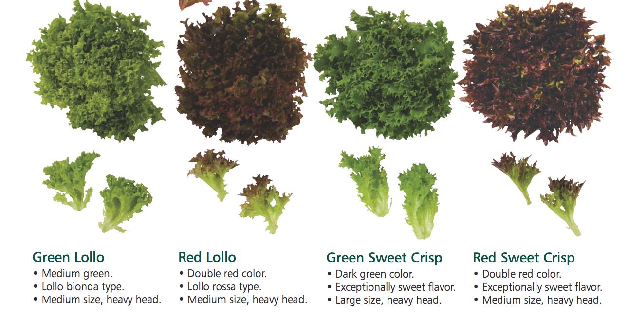 lettuce lengkap2