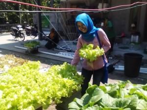 panen sayuran hidroponik