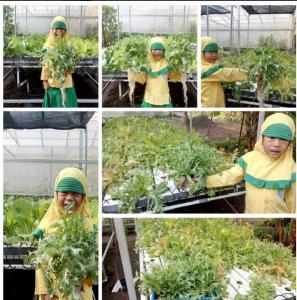 panen lettuce endive
