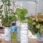 Cara mudah menanam hidroponik seledri di botol bekas step by step