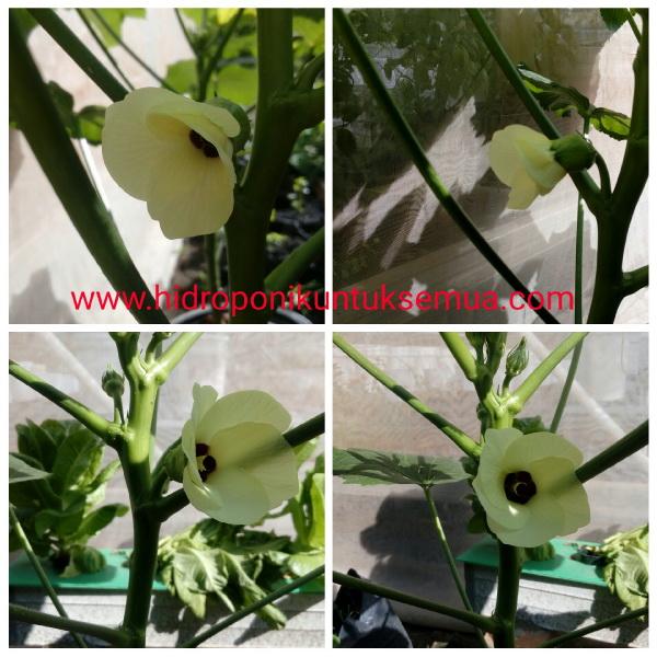 bunga okra hidroponik