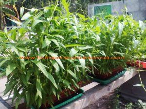 cara menanam kangkung sederhana