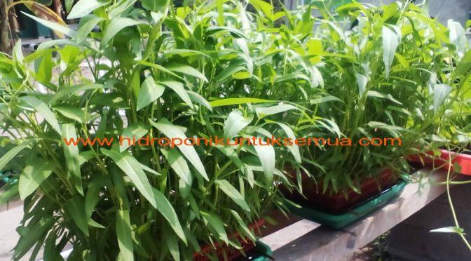 Cara mudah menanam kangkung hidroponik menggunakan bak berlubang
