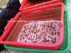 semai benih kangkung