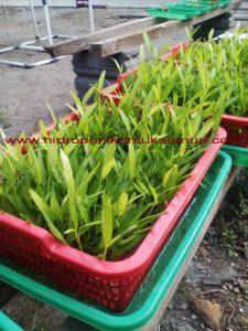 cara mudah menanam kangkung