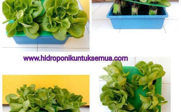 Hal yang penting diperhatikan saat menanam hidroponik dengan sistem wick