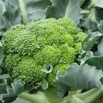 Cara Menyemai Benih Sayuran Brokoli