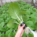 Cara Melarutkan Nutrisi Sebelum Bertanam Caisim