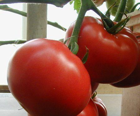 Cara Menyemai Benih Tomat