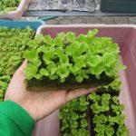 Cara Berhasil Menyemai Benih Lettuce Green