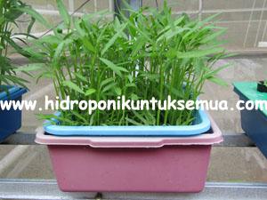5 Kepastian Yang Menyebabkan Kamu Senang Bertanam Kangkung Hidroponik