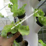 Cara Menanam Lettuce Menggunakan Hidroponik Tower