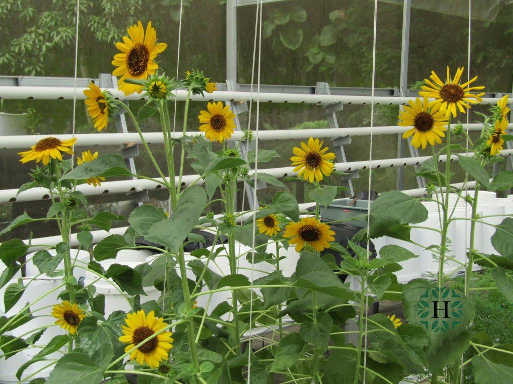 Paket Hidroponik Bunga Hidroponik Untuk Semua