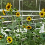 New Produk POWERGEN SUNFLOWER