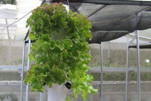 tower gantung tanam lettuce