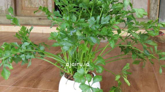 Cara Menanam Sayuran Seledri Dengan Pot Self Watering