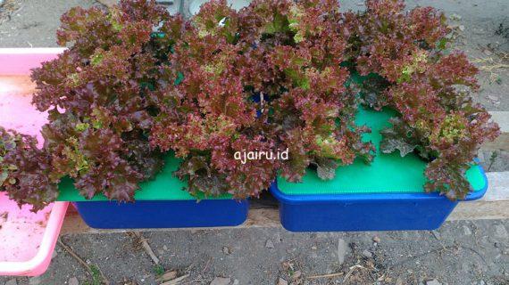 Cara Menanam Lettuce Lolorosa Dengan Sistem Wick