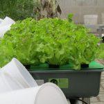 Cara Menanam Green Lettuce Menggunakan Sistem Wick Hidroponik