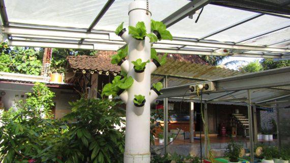 Cara Menanam Lettuce Tom Thumb Di Sistem Tower Hidroponik