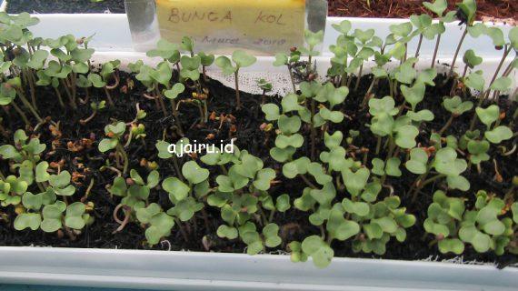 Cara Menanam Bunga Kol Dengan Sistem Microgreen