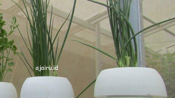 Cara Menanam Daun Bawang Hidroponik Dengan Pot Self Watering