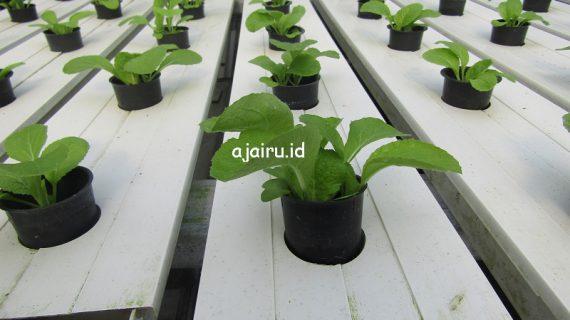 Cara Belajar Bertanam Hidroponik Untuk Pemula