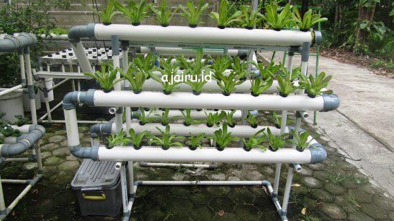 Cara Menanam Lettuce Butter Heat Di Sistem NFT 40 Lubang