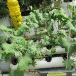 Cara Mengatasi Kutu Kebul Pada Tanaman Hidroponik
