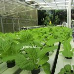 Cara Menanam Sayuran Sawi Putih Dengan Sistem NFT Hidroponik