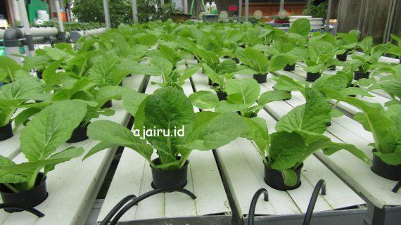 Tips Agar Sayuran Hidroponik Tumbuh Subur