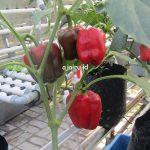 Cara Menanam Buah Paprika Merah Dengan Sistem Guyurponik