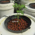 Cara Menanam Tomat Menggunakan Sistem Dutchbucket Paralel 6