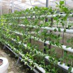 Cara Menanam Green Pakchoy Menggunakan Sistem Hidroponik NFT