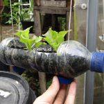 Cara Tanam Sayur Hidroponik Dari Botol Mineral Bekas